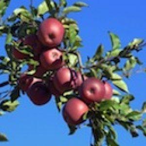 Apple Tree Arvind Balaraman