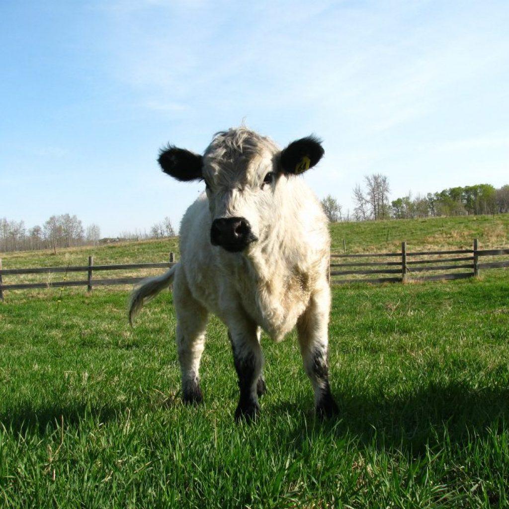 dancing-cow-earth-works-farm