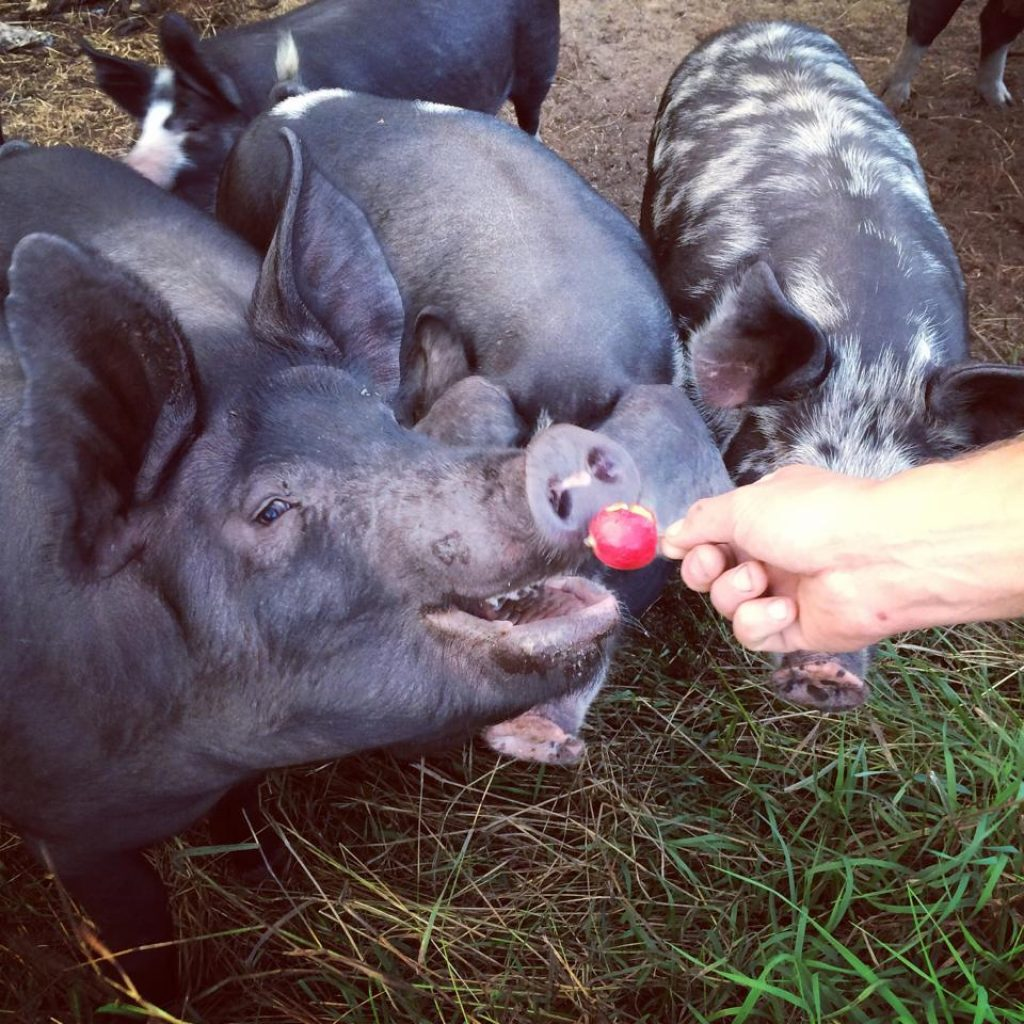 pigs-and-apples-earth-works-farm