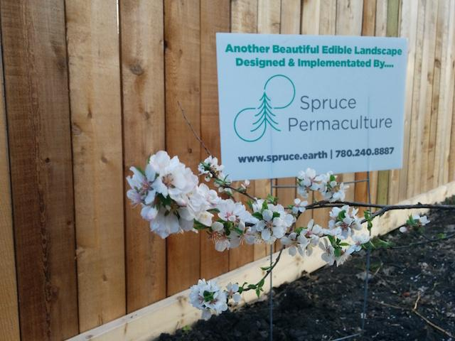 spruce-permaculture-1